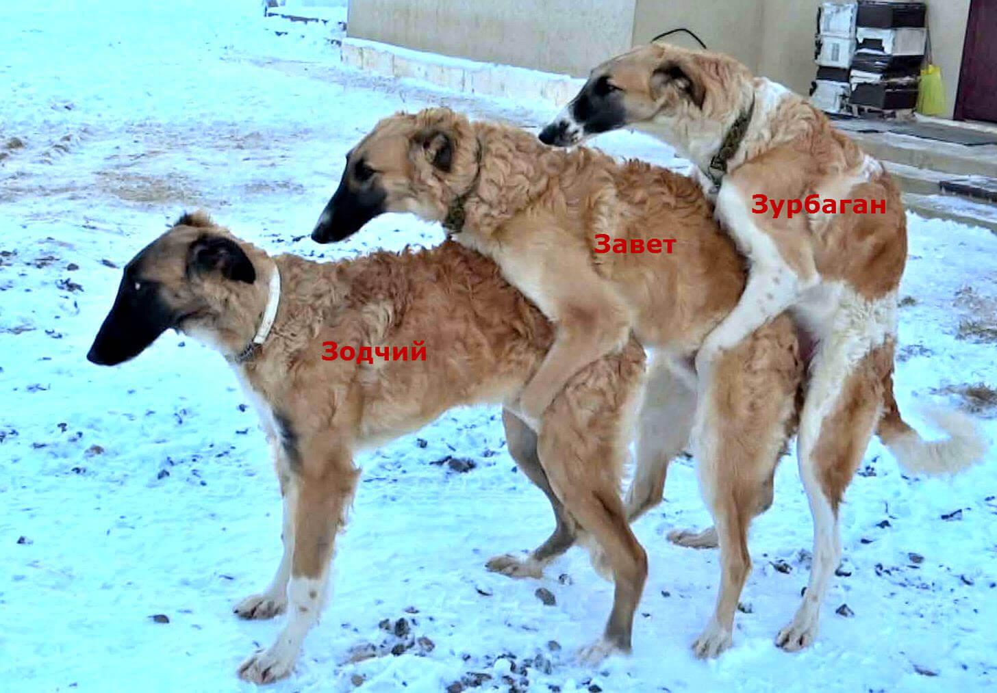 щенки русской борзой
